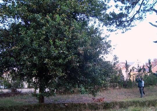 Vấn đề đặt ra ngay từ bây giờ là làm thế nào để bảo vệ và quản lý tốt cây mắc ca cổ thụ duy nhất có ở Đà Lạt (và có thể cả Việt Nam)