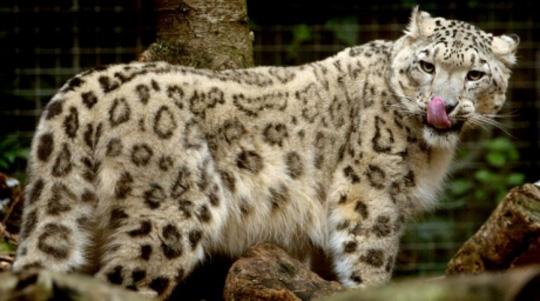 Snow leopard. ©Reuters
