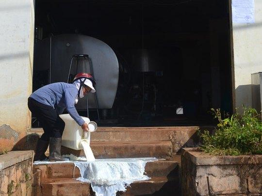 Nông dân đổ sữa bò trước trạm thu mua - ảnh 1