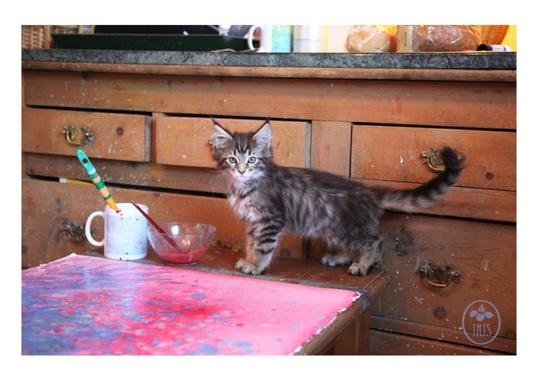 Chú mèo 1 năm tuổi Thula
