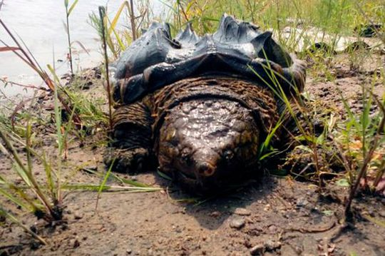 Mystery surrounds how a rare prehistoric-looking turtle normally found in the American south ended up more than 6,000 miles away --- in Siberia