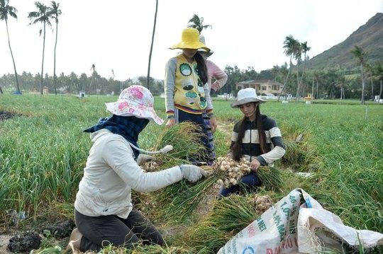 Khách du lịch khi đến Lý Sơn có thể đi trồng hành, trồng tỏi với người dân địa phương Ảnh: TỬ TRỰC