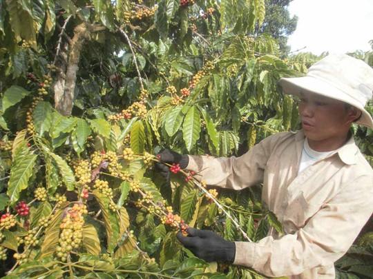 Thu hái quả xanh là một trong những nguyên nhân làm giảm chất lượng cà phê