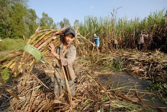 Năng suất thấp, giá thành cao là điểm yếu mà ngành mía đường Việt Nam đến nay vẫn chưa cải thiện được Ảnh: NGỌC TRINH