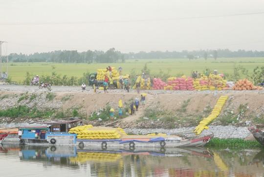 Các doanh nghiệp đang đẩy mạnh thu mua tạm trữ 1 triệu tấn lúa gạo theo chỉ đạo của Chính phủ Ảnh: Thốt Nốt
