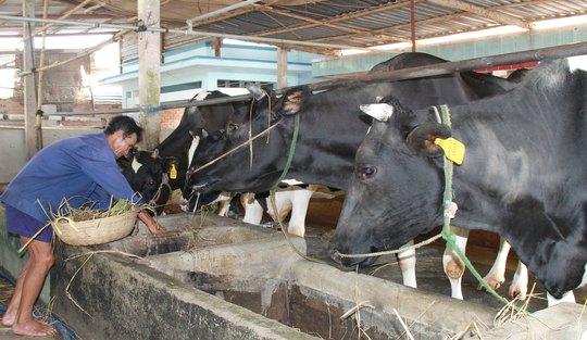 Nuôi bò sữa nông hộ tại huyện Củ Chi