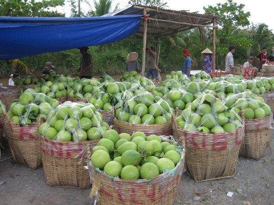 Vào mùa thu hoạch rộ là trái cây ở ĐBSCL liên tục rớt giá Ảnh: CA LINH