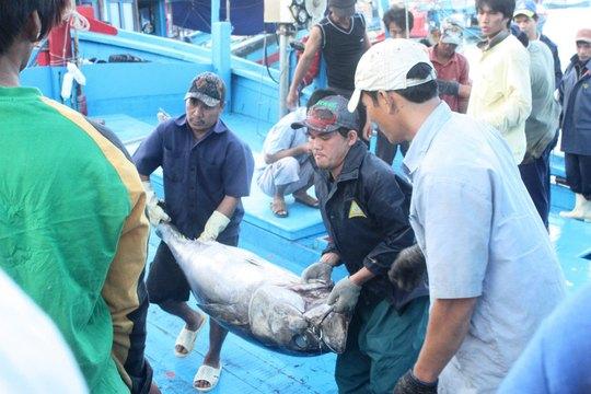 Khai thác, thu mua cá ngừ đại dương ở Khánh Hòa Ảnh: KỲ NAM