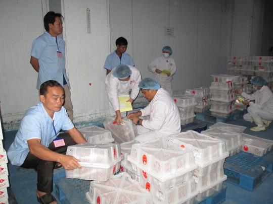 Dán nhãn cho trái vải xuất khẩu đi Mỹ, Úc của Công ty Rồng Đỏ