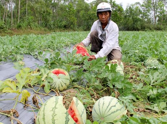 Thương lái không đến mua khiến dưa của nông dân Quảng Ngãi thiệt hại nặng. Ảnh: Tử Trực