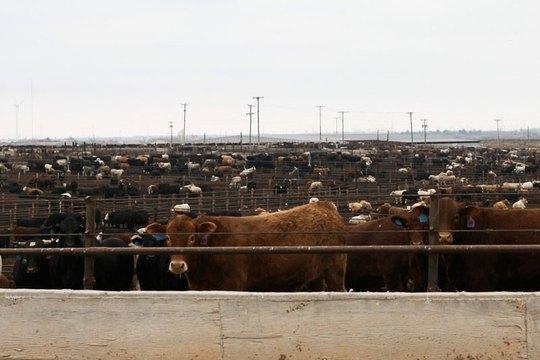 Một trang trại gia súc ở TP Hale Center, bang Texas - Mỹ  Ảnh: THE TEXAS TRIBUNE