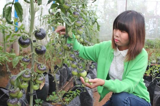 Giá cà chua đen đắt gấp 10 lần khi bán ở Sài Gòn