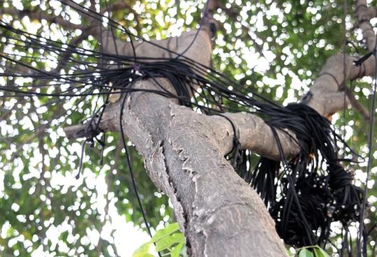 Ban ngày, chi chít các loại dây thừng được ngụy trang kín trên các thân và tán cây.