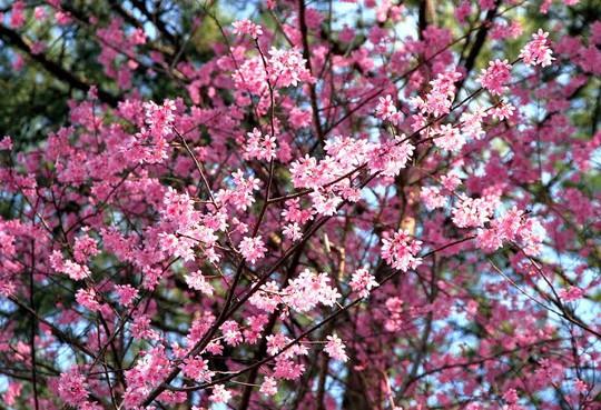 Sắc hồng của loài hoa mỏng manh này, báo hiệu mùa xuân đang đến với Đà Lạt