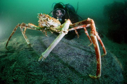 Bà Clark chụp ảnh với cua nhện không lồ Nhật Bản năm 1984. Ảnh: National Geographic