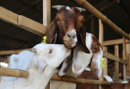 Thay vì nuôi dê để để lấy thịt, lấy giống mùa Tết này những trại ở Sài Gòn mang cho thuê.
