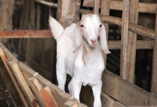 Giống dê cho thuê thuộc dòng Boerm đặc biệt màu lông trắng hoặc đốm đen có giá 500.000 đồng/ngày.
