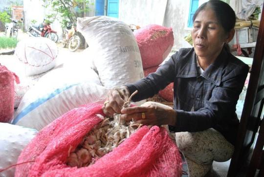 Tỏi Lý Sơn được người dân đất đảo mang sản phẩm thô về nhà - Ảnh: Trần Mai