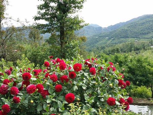 Trên đường từ Sa Pa đi Ô Quý Hồ, bạn có thể ngắm những vườn hồng đỏ rực