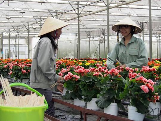 Công nhân của Agrivina đang chăm sóc hoa trong nhà kính ờ Đà Lạt