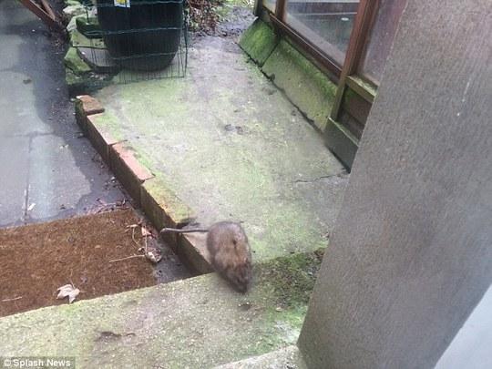 Chuột khổng lồ được thấy ở Anh