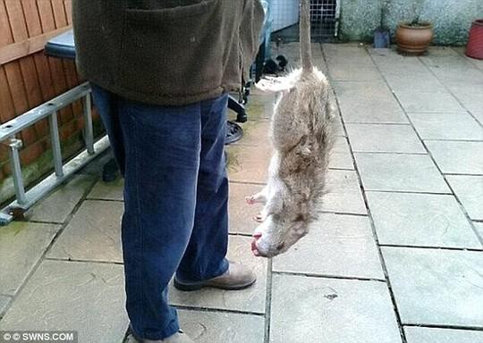 Chuột khổng lồ ở Anh