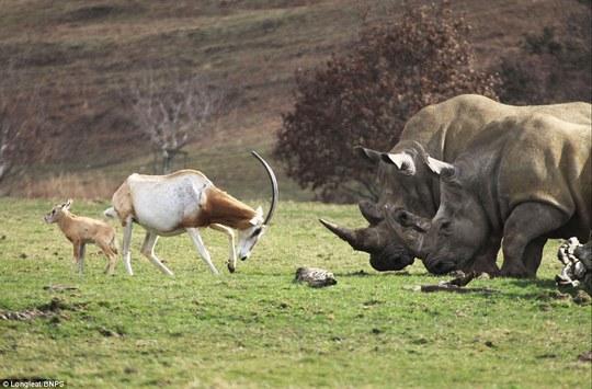 Linh dương mẹ kiên cường đấu sừng với tê giác bảo vệ con