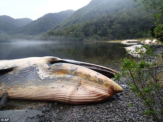 20 con cá voi sắp tuyệt chủng chết bí ẩn trên bờ biển Chile