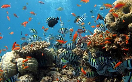 Đảo Phú Quốc có những bãi san hô tuyệt đẹp cho du khách tham quan. Ảnh: Diving.vn