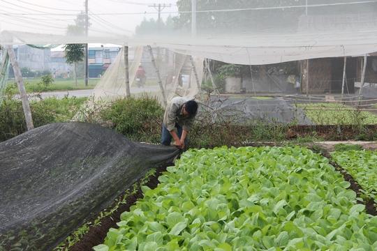 Một cây cải phát triển bình thường, sau 40 ngày thu hoạch chỉ cao không quá 30cm. Ảnh chụp tại vườn cải huyện Hóc Môn (TP HCM).