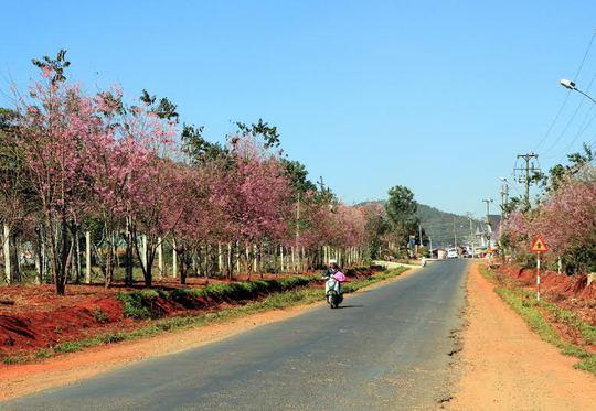Hoa mai anh đào đầy quyến rũ trên QL20, đoạn qua xã Xuân Thọ (TP Đà Lạt)