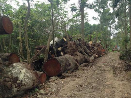Bãi gỗ dài khoảng 500 mét với những súc gỗ xếp cao quá đầu người