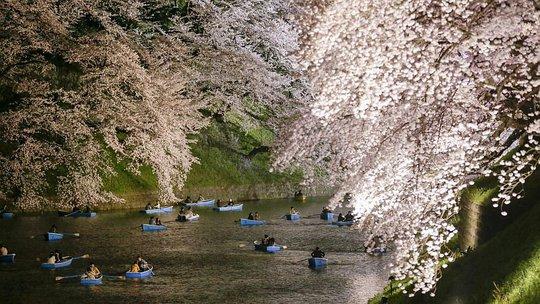 Từng cặp đôi bơi thuyền trên hào nước Chidorigafuchi, Tokyo để thưởng hoa và chụp hình kỷ niệm. Ảnh: EPA