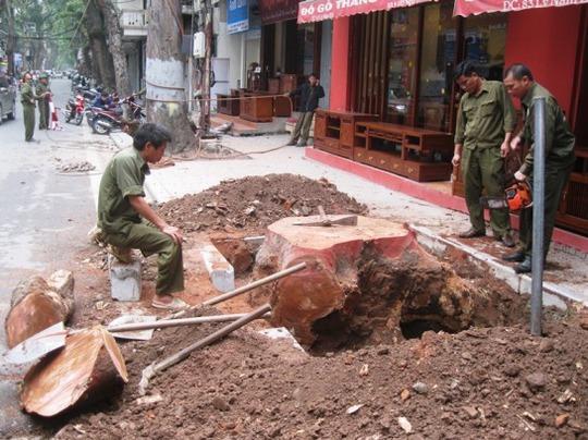 Công nhân đang tiến hành cưa, chặt cây khô mục