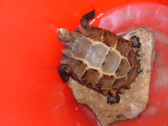 Con rùa bò vào đình