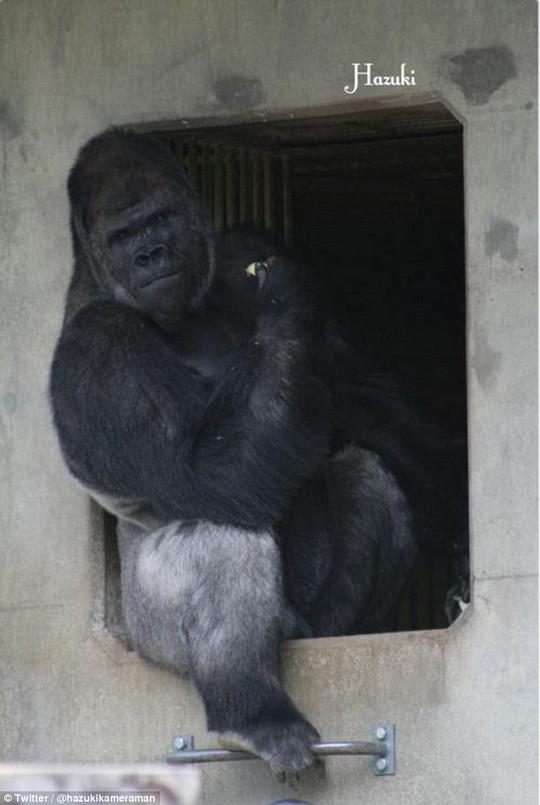 Ngoài vẻ đẹp trai, chú khỉ còn sở hữu thân hình cơ bắp hấp dẫn. Ảnh: Twitter, Instagram