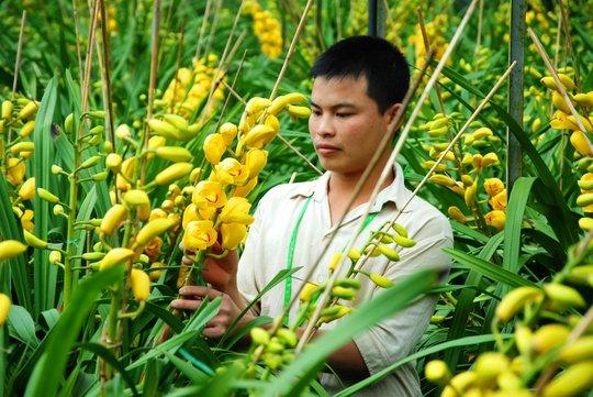 Người trồng địa lan ở Đà Lạt méo mặt vì chưa đến Tết hoa đã nở vàng rực Ảnh: THẠCH THẢO