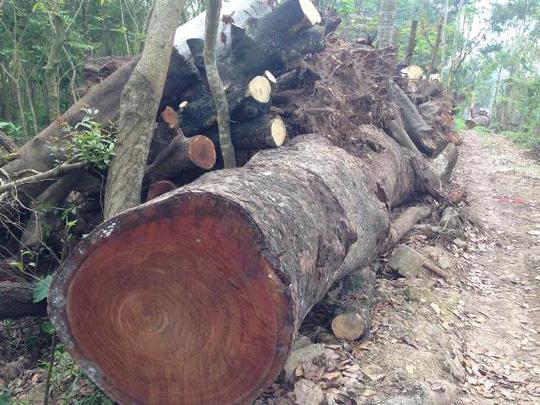"""""""Đột nhập"""" nơi nghi tập kết gỗ bị chặt tại Hà Nội"""