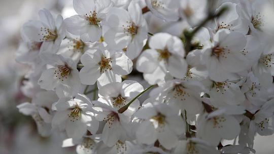 Hoa anh đào Nhật Bản nở rộ từ ngày 30-3, sớm hơn 5 ngày so với năm trước. Ảnh: Reuters