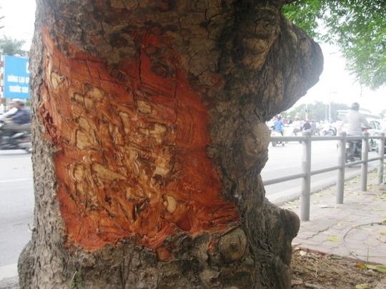 Thậm chí có những vết chém thẳng vào thân cây