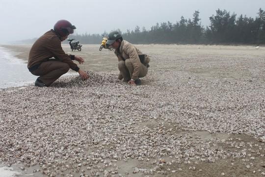 Ốc hương, sò lông tự nhiên chết trôi dạt vào bờ biển huyện Kỳ Anh, tỉnh Hà Tĩnh Ảnh: CẨM XUYÊN