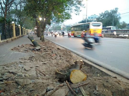 6.700 cây xanh ở Hà Nội sẽ bị đốn hạ bất chấp sự phản đối của người dân Ảnh: NGUYỄN QUYẾT