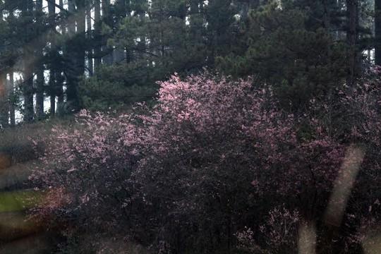 Một góc rừng ở phường 7 (TP Đà Lạt), bừng sáng bởi sắc hoa mai anh đào