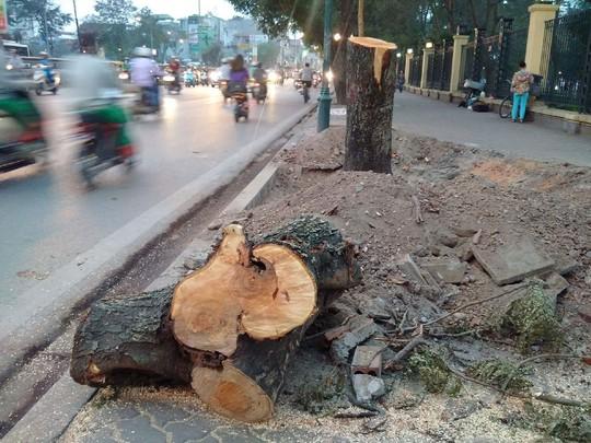 Cây xanh ở trung tâm Hà Nội bị đốn hạ không thương tiếc hôm 19-3 Ảnh: NGUYỄN HƯỞNG