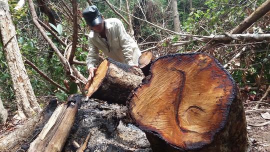 Những khúc gỗ giáng hương có đường kính lớn bị cháy nham nhở còn sót lại