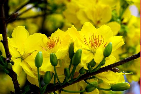 Mùa Xuân nhặt cánh mai vàng