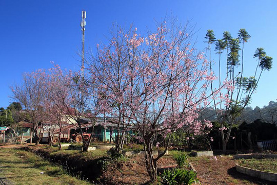 Hoa mai anh đào ở khu dân cư tại xã Xuân Thọ