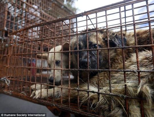 """Trung Quốc: Ráo riết trộm chó cho lễ hội thịt chó """"chui"""""""