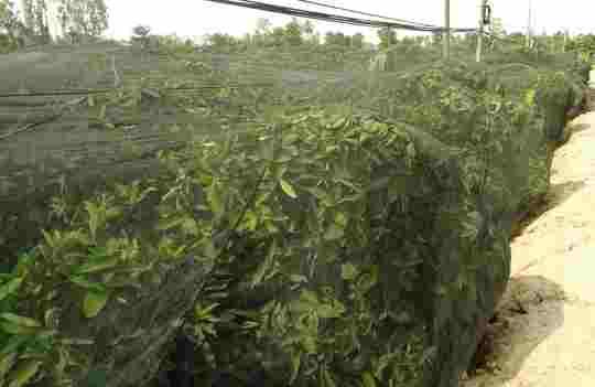 Bao lưới cho mận để tránh côn trùng phá hoại