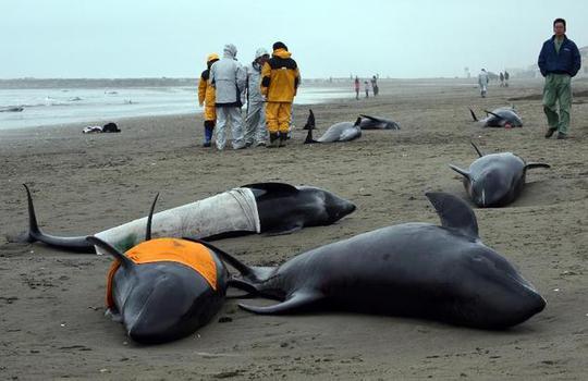 Nhiều con cá heo chết ngay sau đó. Ảnh: Daily Mail